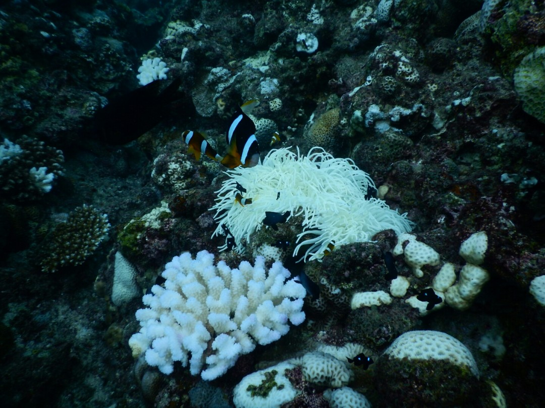 15 白化サンゴとクマノミ
